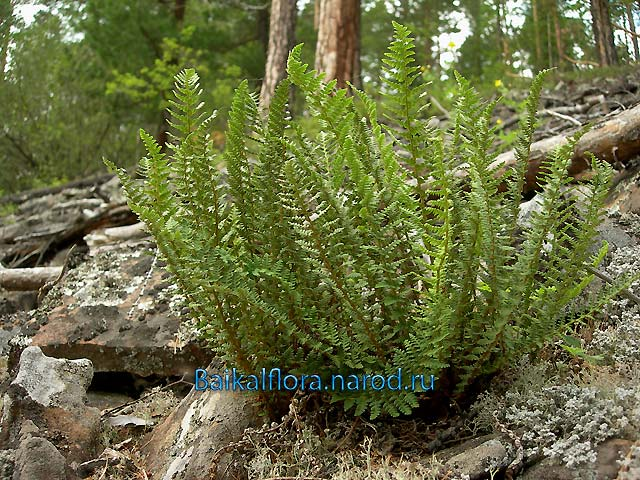 Dryopteris fragrans