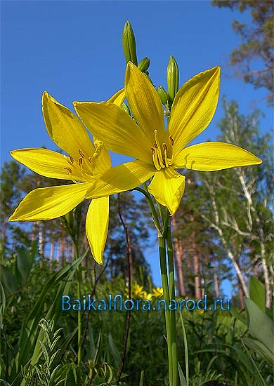 Красоднев Hemerocallis minor