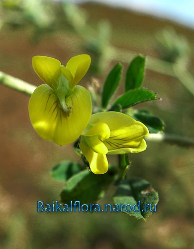 Medicago falcata /